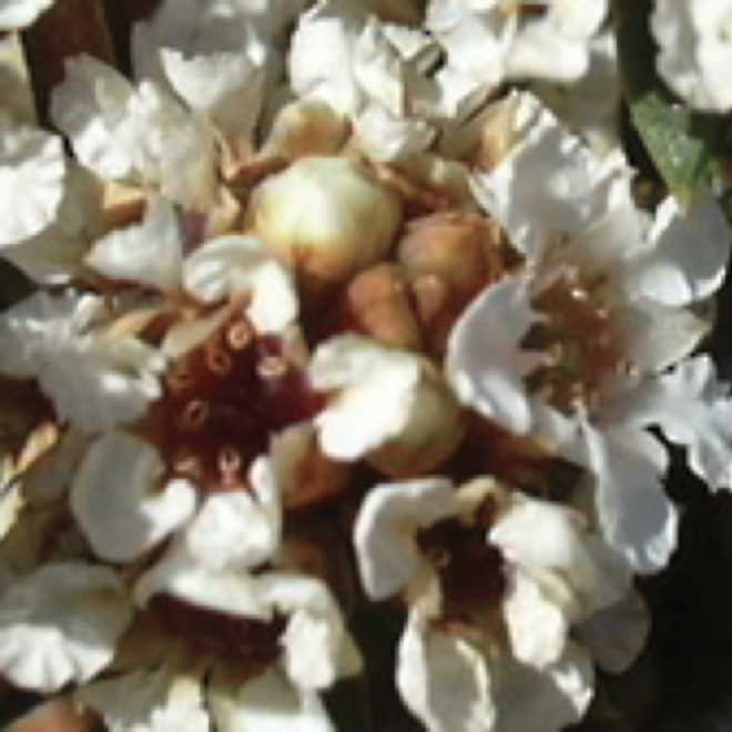 Fragonia essential oil image 0