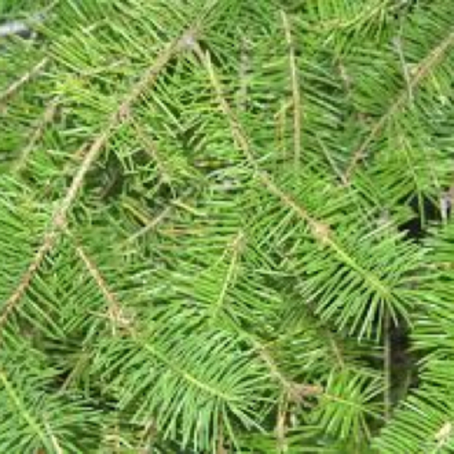 Fir needle essential oil image 0