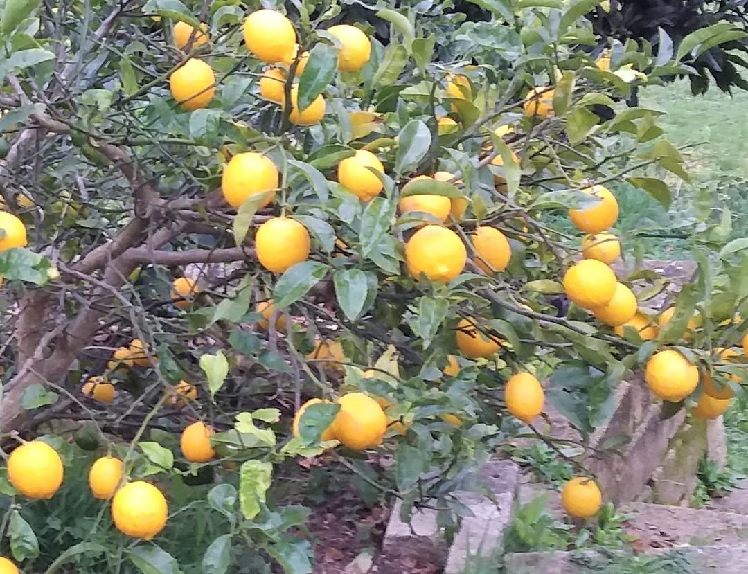 Calendula and Chamomile Shampoo with a hint of lemon 275ml image 1