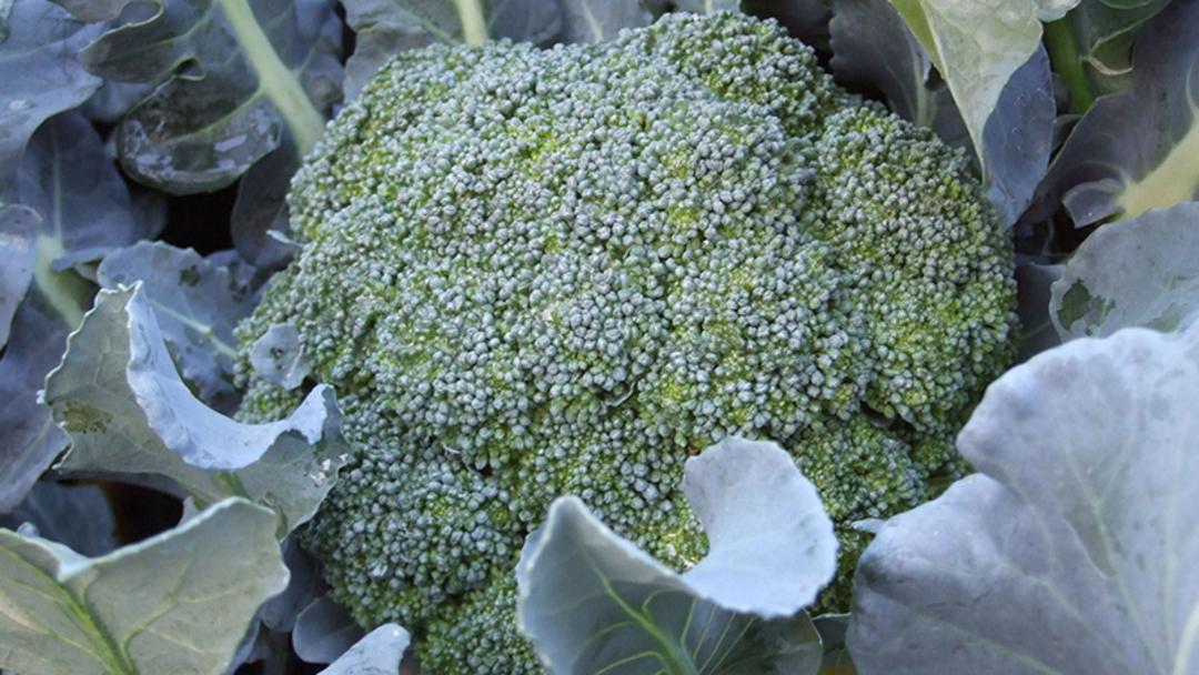 Broccoli image 0