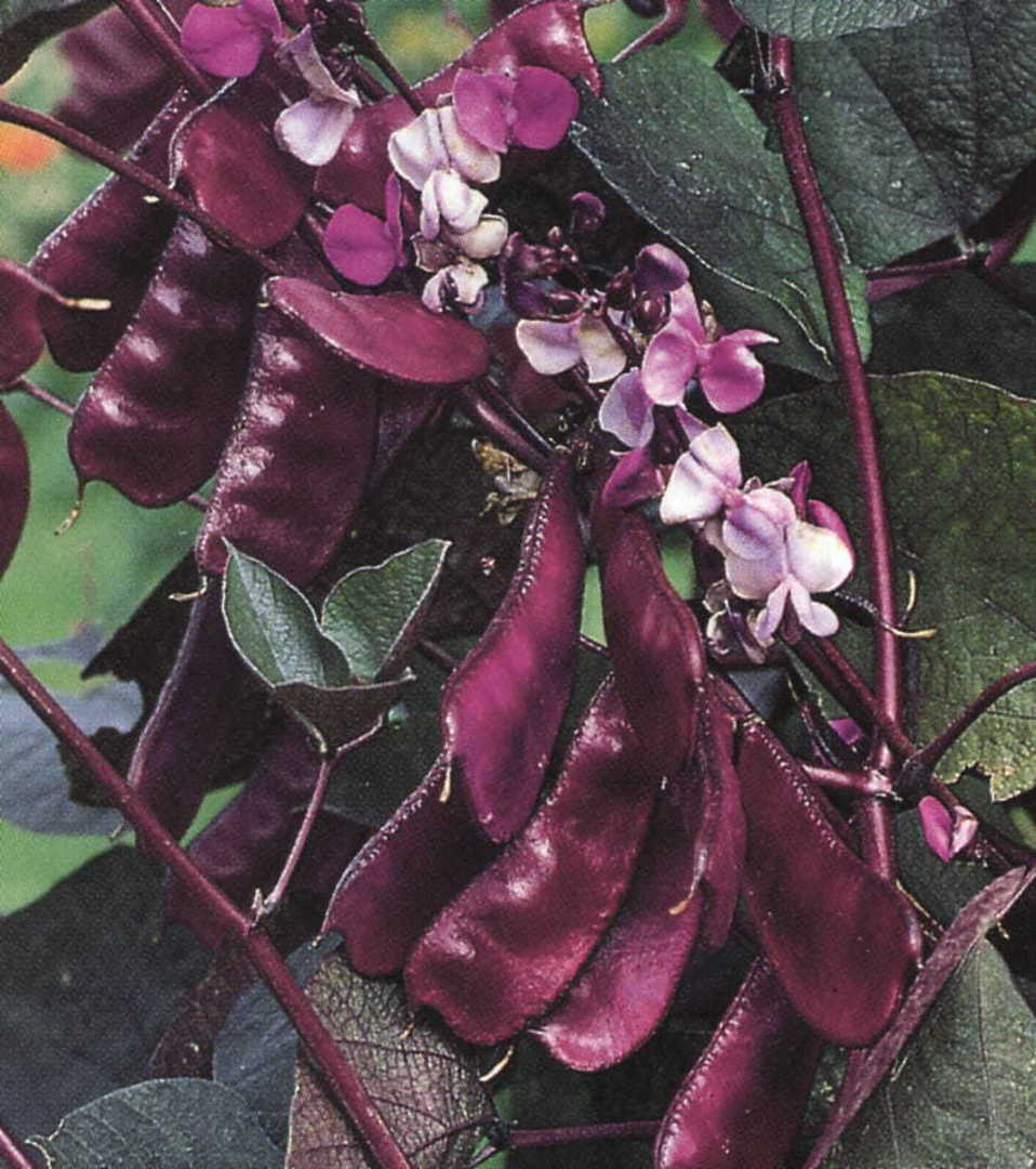 Hyacinth Bean Vine - large wine coloured patterned leaves