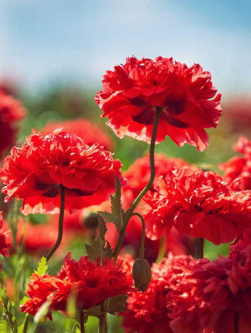Poppy Peony Scarlet - Vibrant Scarlet Red peony poppy