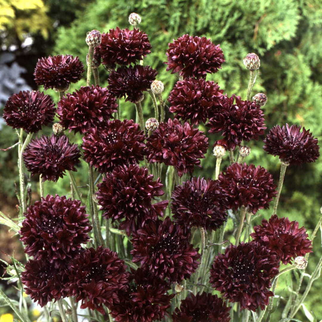 Cornflower Blackball - Deep Mauve double flowers