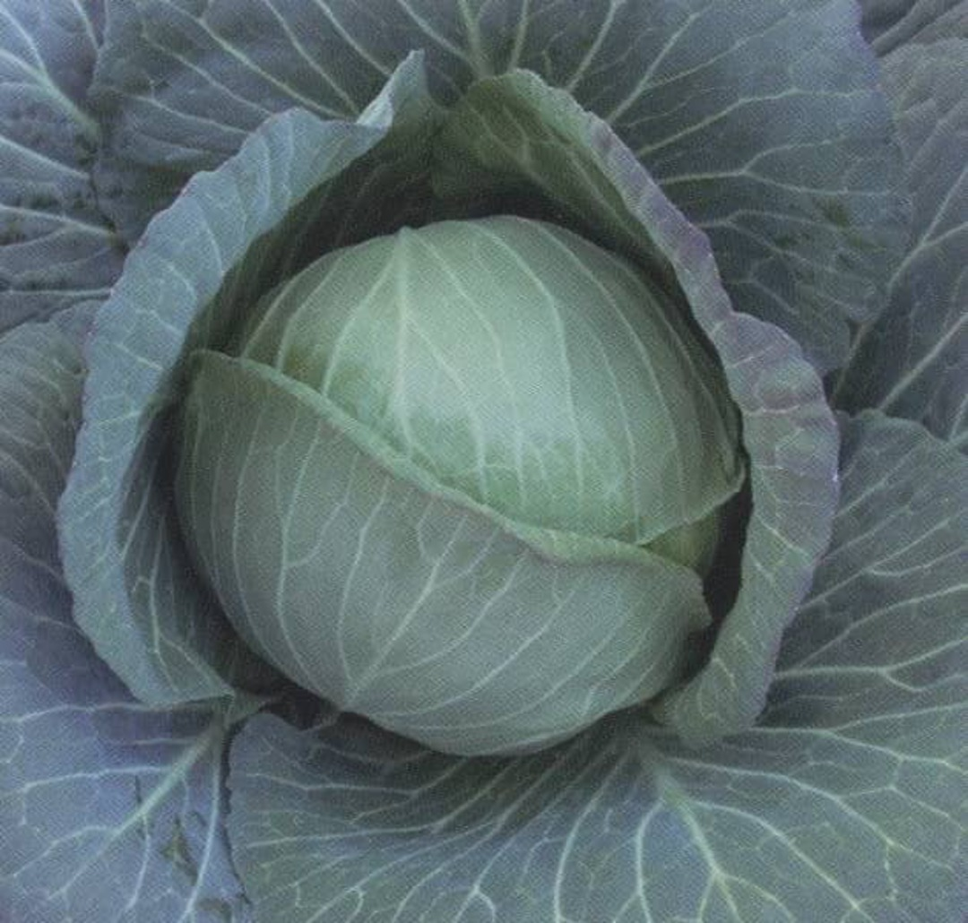 Cabbage Green Ball - Firm and dense with tightly packed crisp tasty leaves.