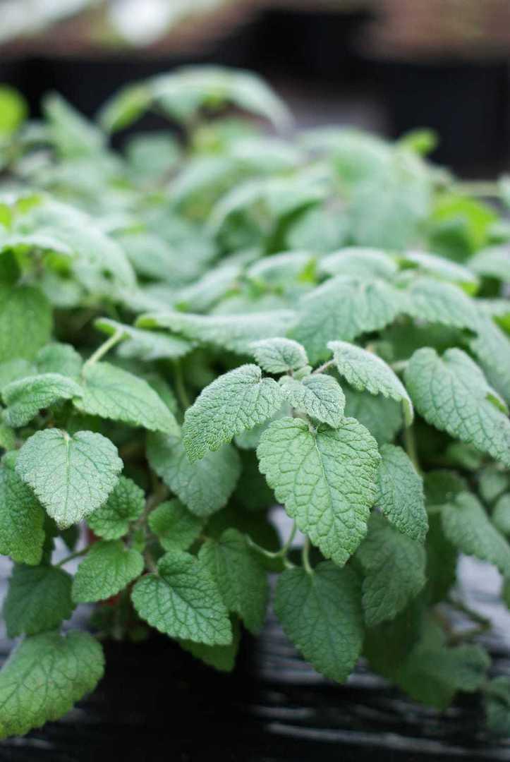 Orange Balm - Highly aromatic Mint type perennial