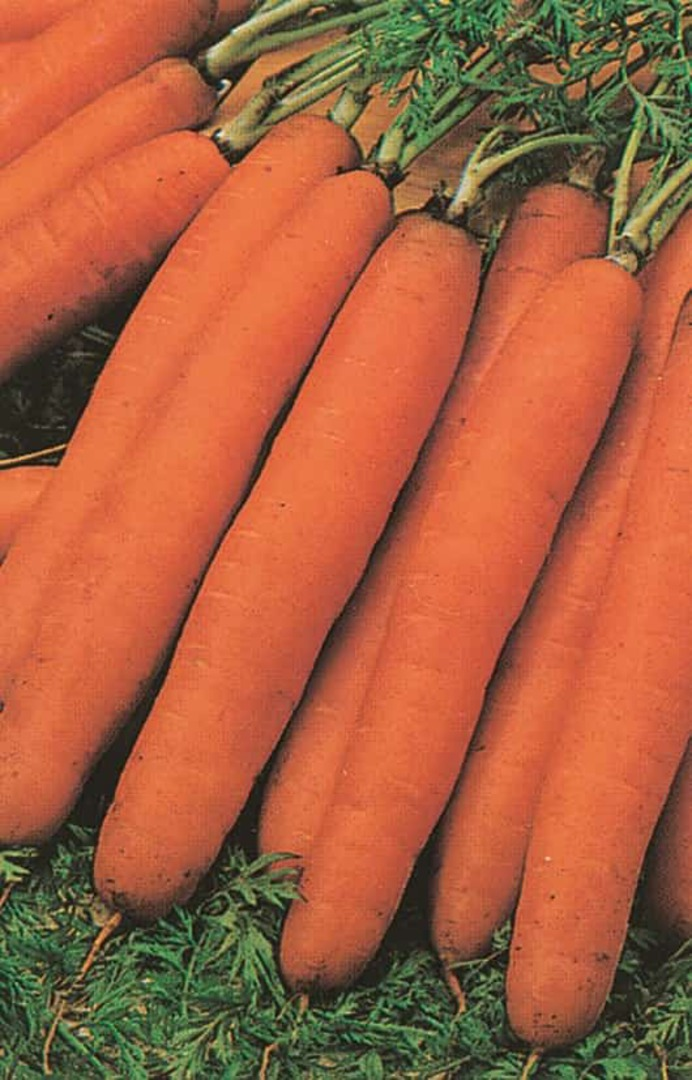 Carrot Amsterdam Sprint - harvest of many symmetrical orange carrots