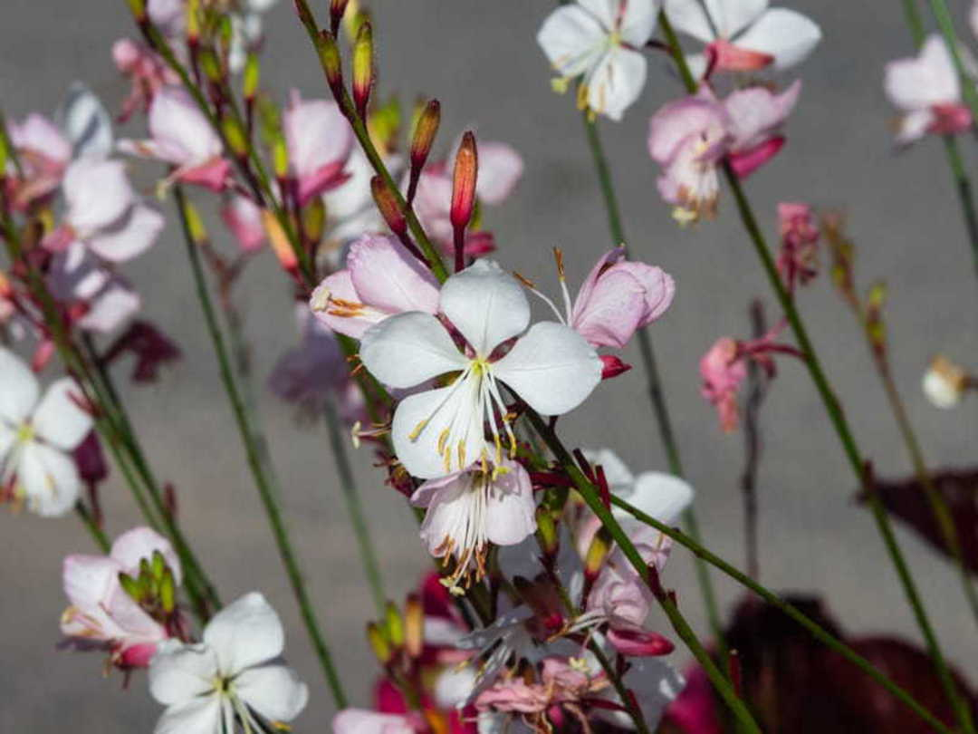 Gaura The Bride - spikes of White flowers tinged pink