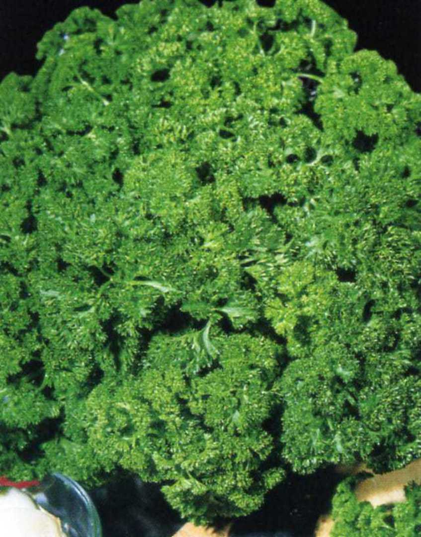 Parsley Green Pearl - Triple Curled Parsley with densely frilled curly leaves