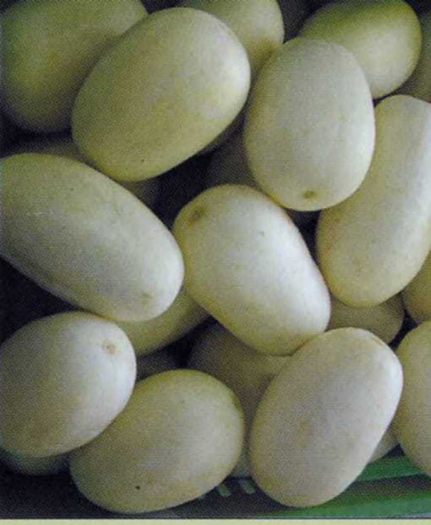 Cucumber Crystal Apple - harvest of white apple sized cucumbers