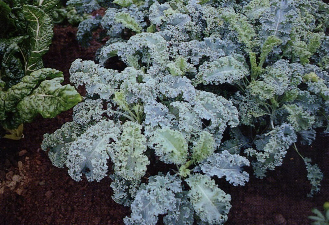 Kale Squire - fine curled deep bluish-green leaves