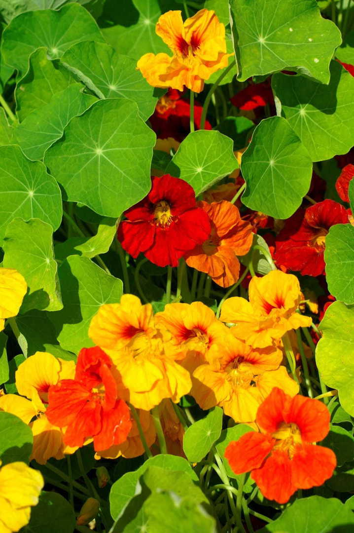 Nasturtium Top Flowering Mixed - blend of red, gold, lemon, mahogany and orange