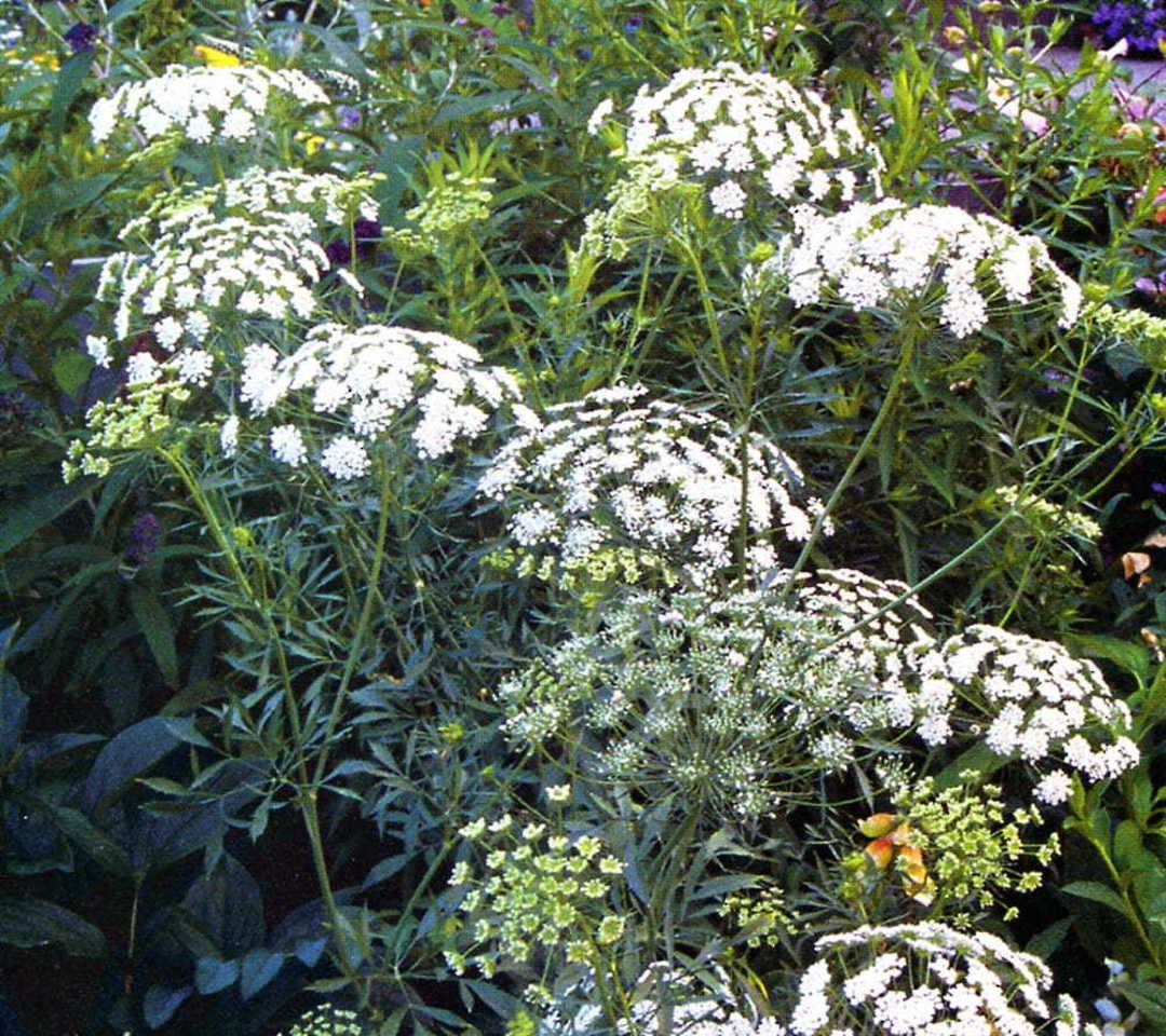 Bishops Flower - attractive wild flower with lacy White flowers