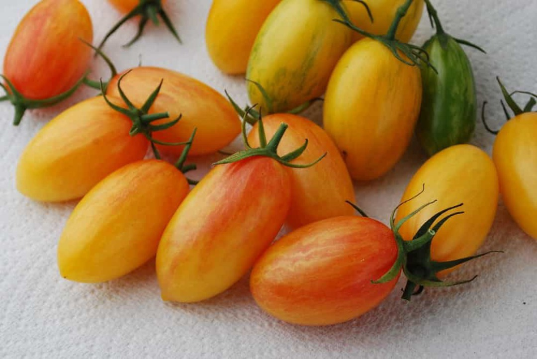 Organic Tomato Artisan Blush -golden yellow elongated cherry tomato