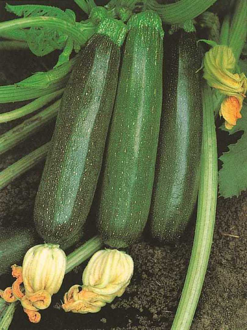 Organic Zucchini Black Beauty - Dark green fruit are cylindrical and smooth