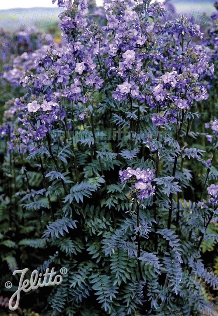 Polemonium Purple Rain image 0