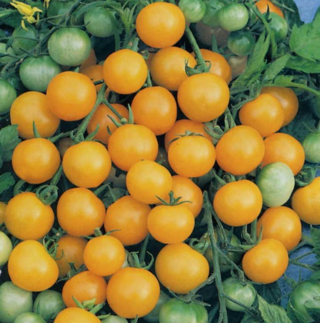 Tomato Honeybee F1 - bright yellow cherry tomato