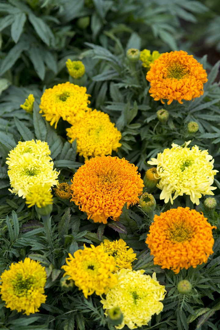 Marigold Spinning Wheels - unique African Marigolds