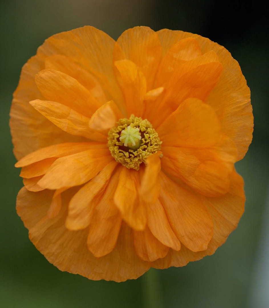 Poppy Tangerine Parfait - Mediterranean Poppy producing soft tangerine flowers