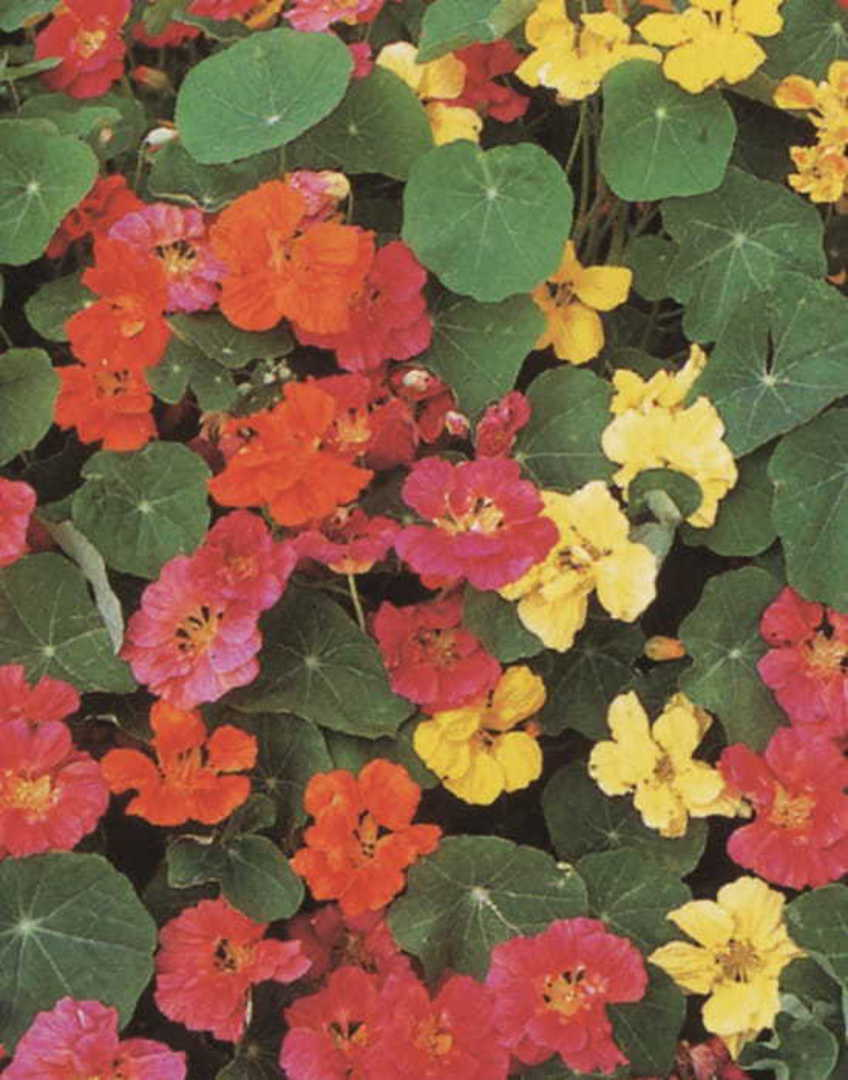 Nasturtium Whirlybird Mixed -  blend of 7 distinct colours