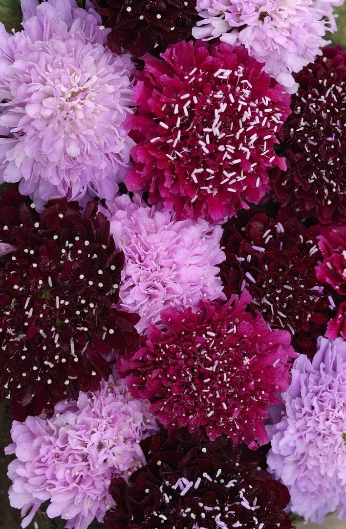 Scabiosa Summer Fruits - Scabiosa in shades of Pink, Purple and Red