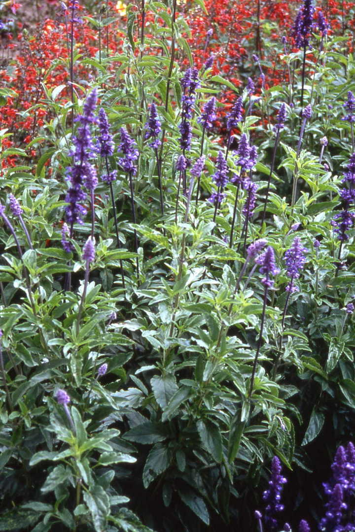 Salvia Blue Bedder - Blue elegant flower spikes