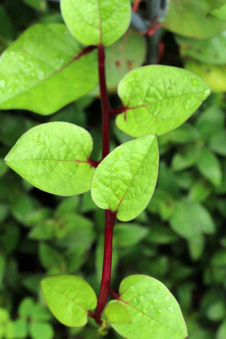 Malabar Spinach - A rapid growing vining plant