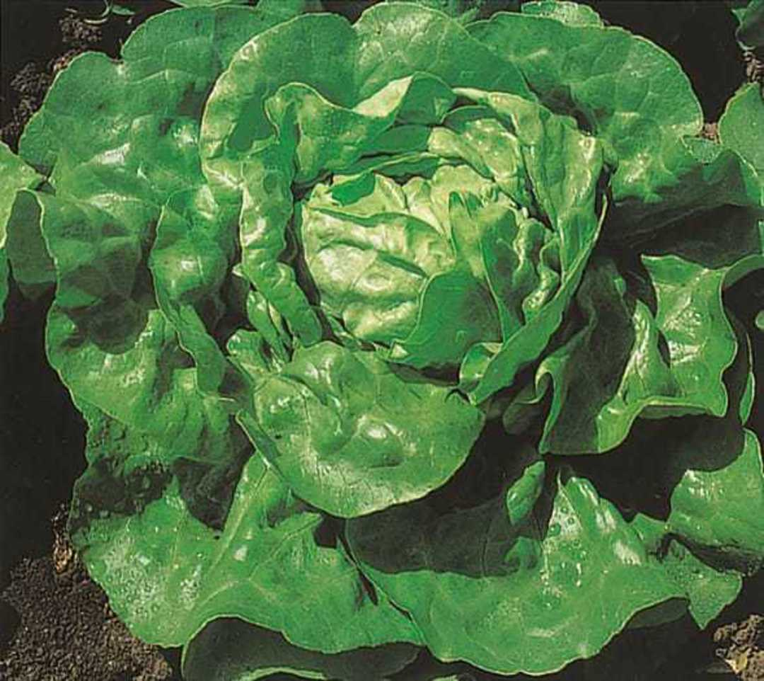 Organic Lettuce Summer Queen - Dark green butterhead