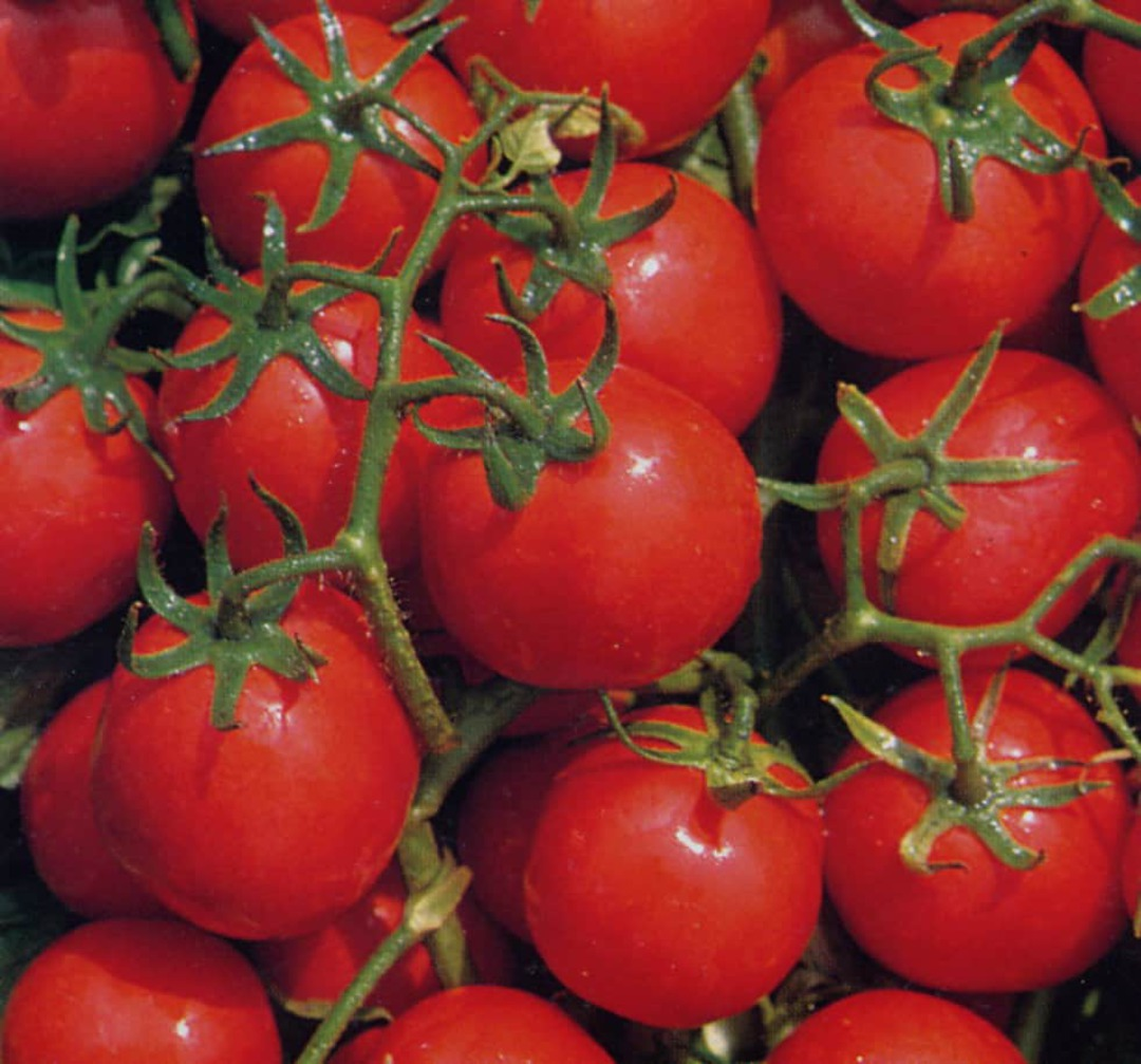 Tomato Bloody Butcher - high yielding dark red tomato