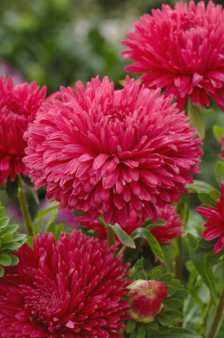 Aster King Size Red - Brilliant large red flower
