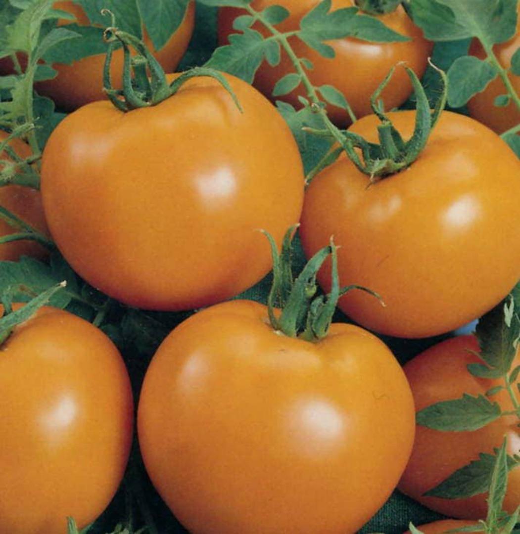 Tomato Jaune Flamme - delicious apricot sized beauty