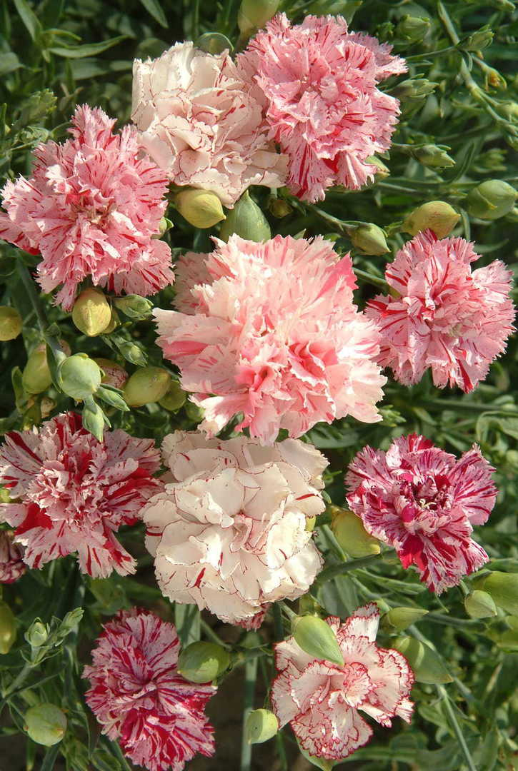 Dianthus Picotee Mix - striped and picotee flowers
