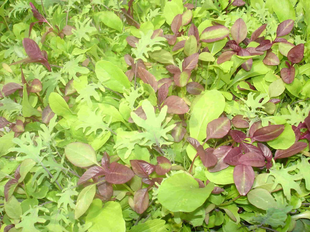 Mesclun Italian - mix of green and reds