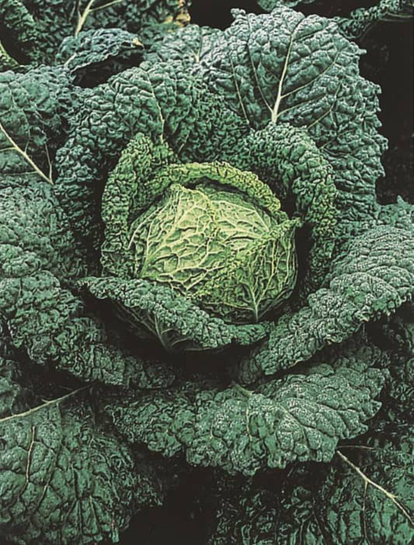 Cabbage Vertus Savoy -  well crinkled and crimped outer leaves and excellent internal quality