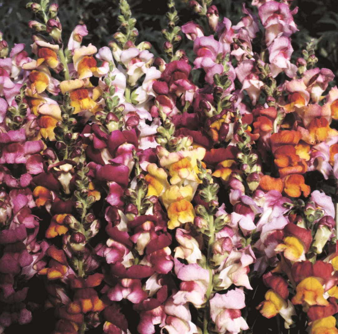 Antirrhinum Brazilian Carnival - blend of bi-colour Snapdragons