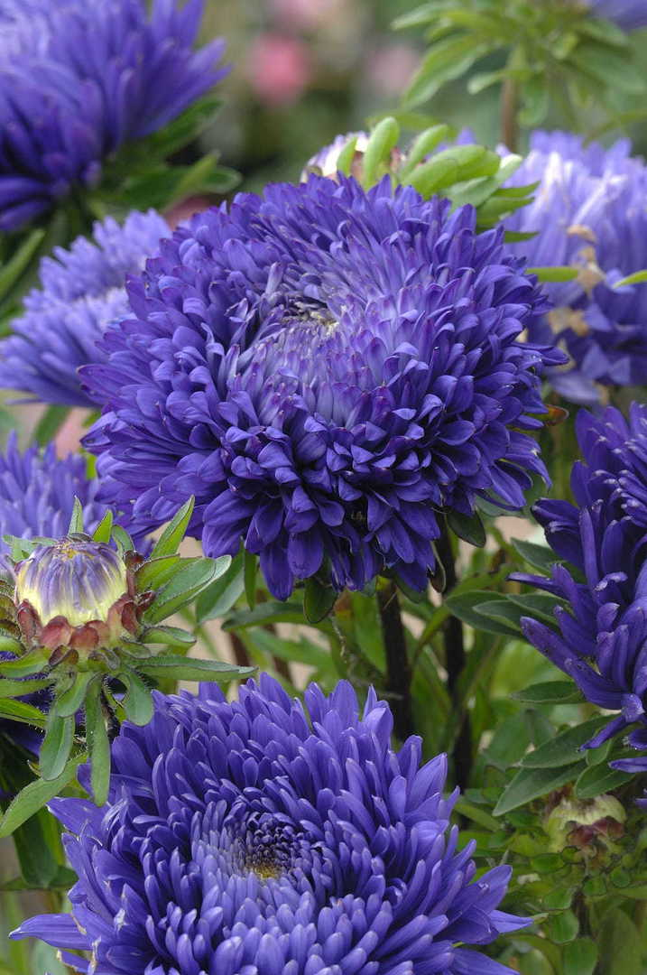 Aster King Size Blue - True Blue fully double Aster