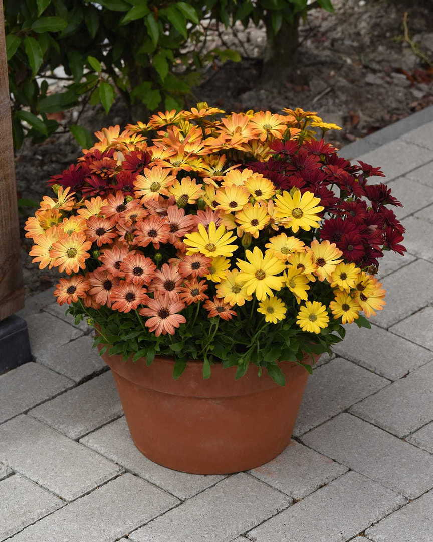 Osteospermum Sunset Shades F1 - Rose Reds, Salmon, Apricot, Yellow and Orange