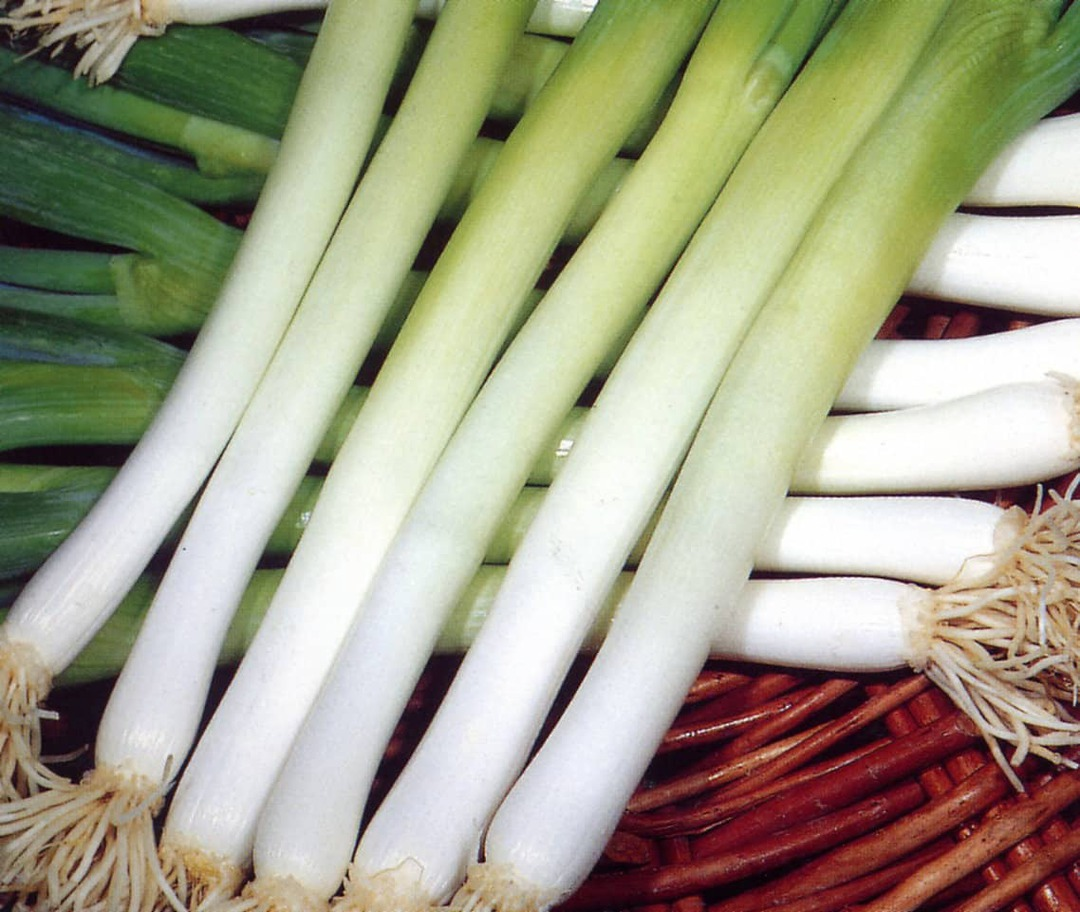 Onion Ishikura - Long white stem with dark green leaves
