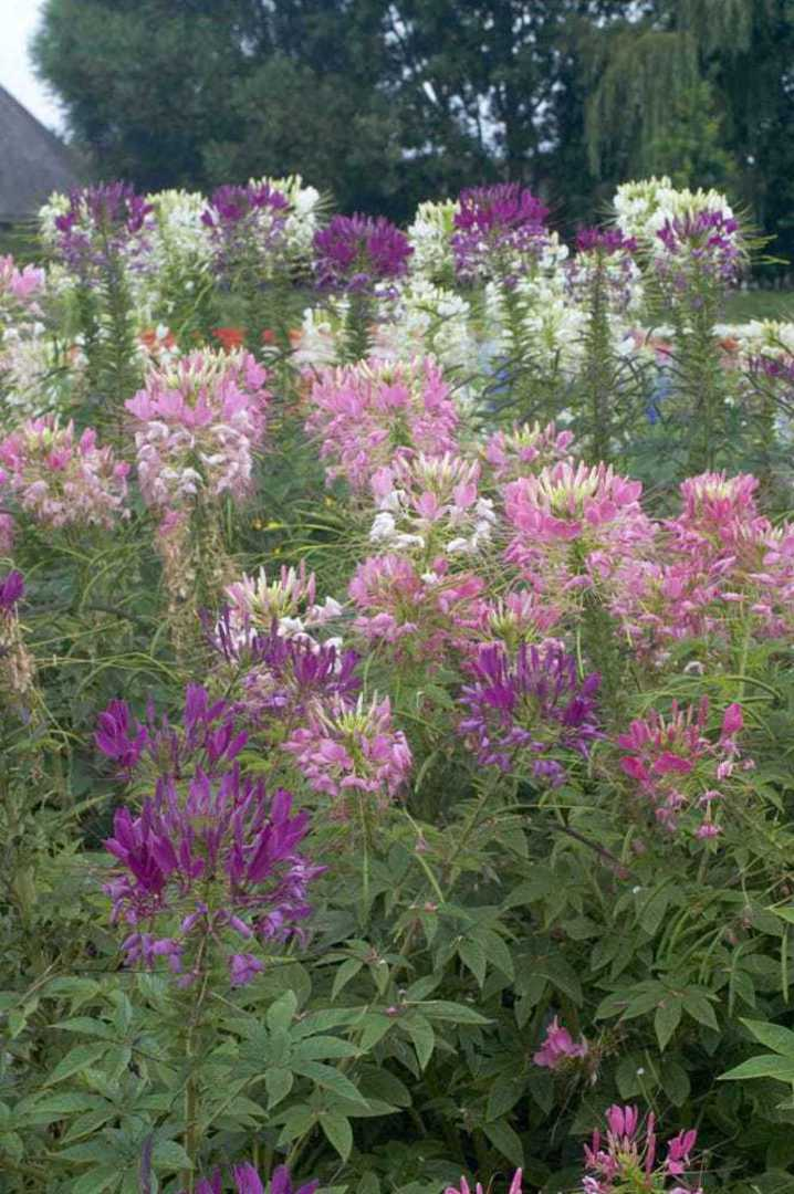 Cleome mixed - airy blooms in Pink, Rose and Violet