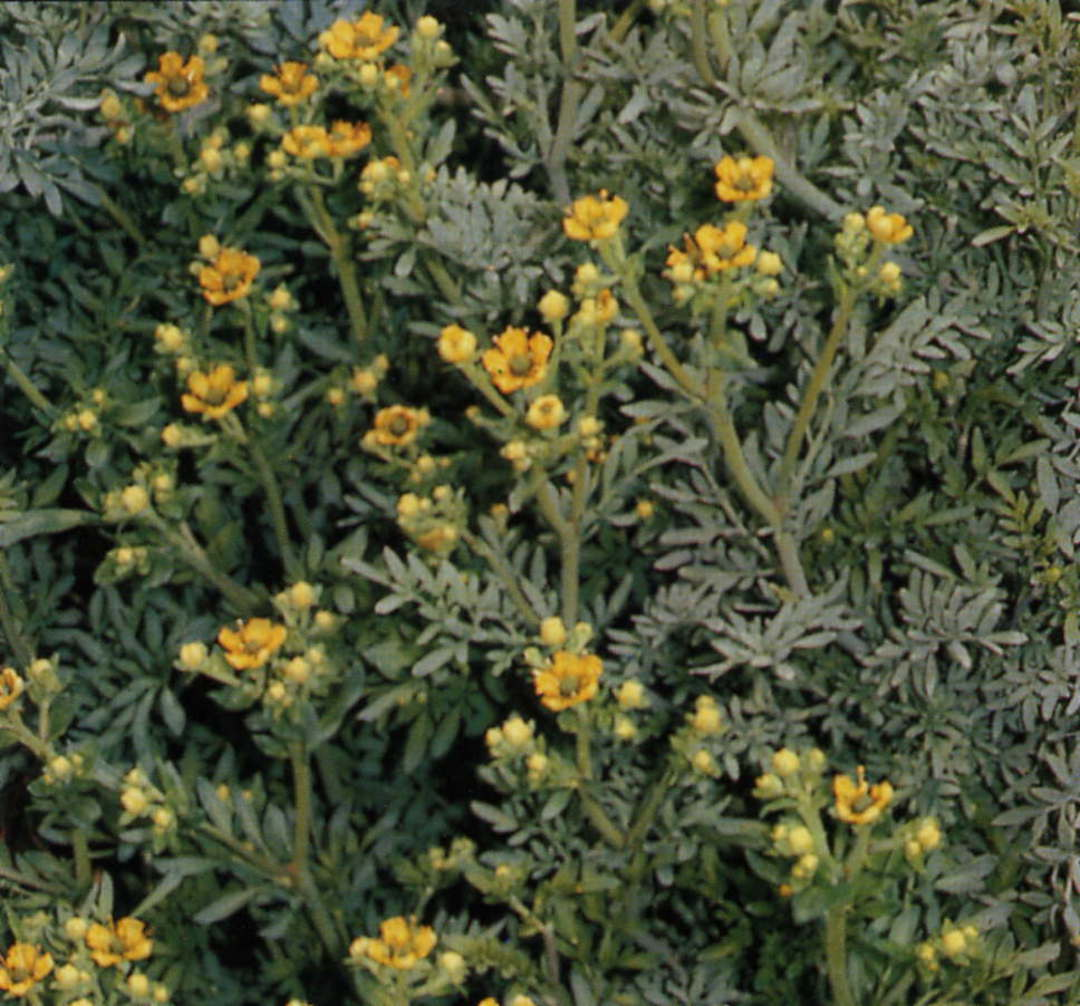 Rue -  attractive blue-green foliage and a pungent aroma