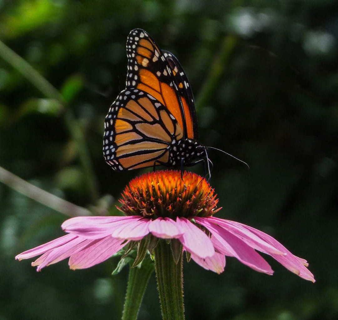 Wildflower Butterfly Blend - formula blend to attract butterflies
