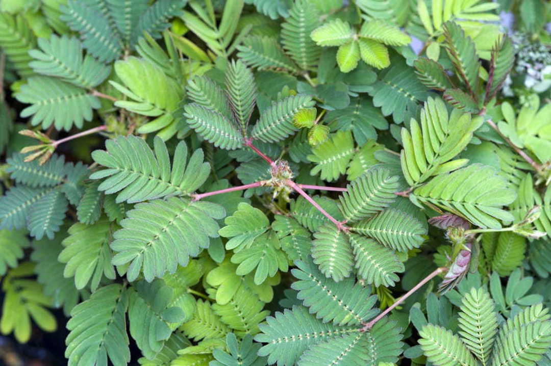 Sensitive Plant - attractive foliage and pretty Pink fluffy flowers