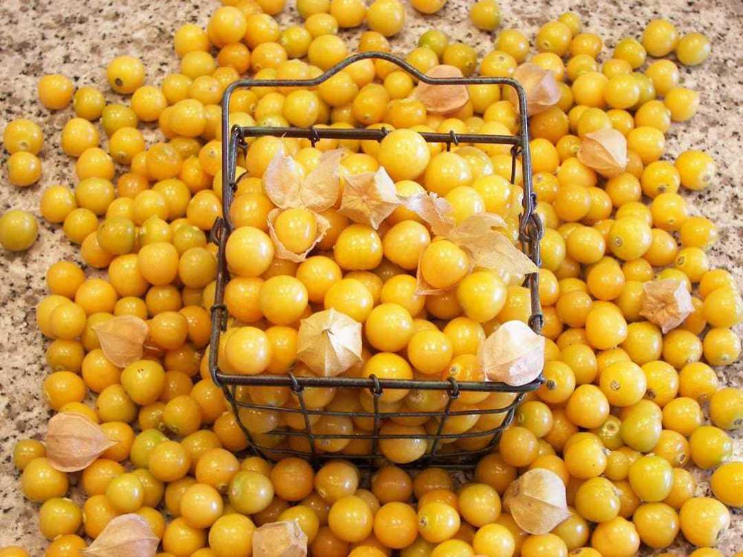 Organic Ground Cherry - Yellow fruit harvest in basket