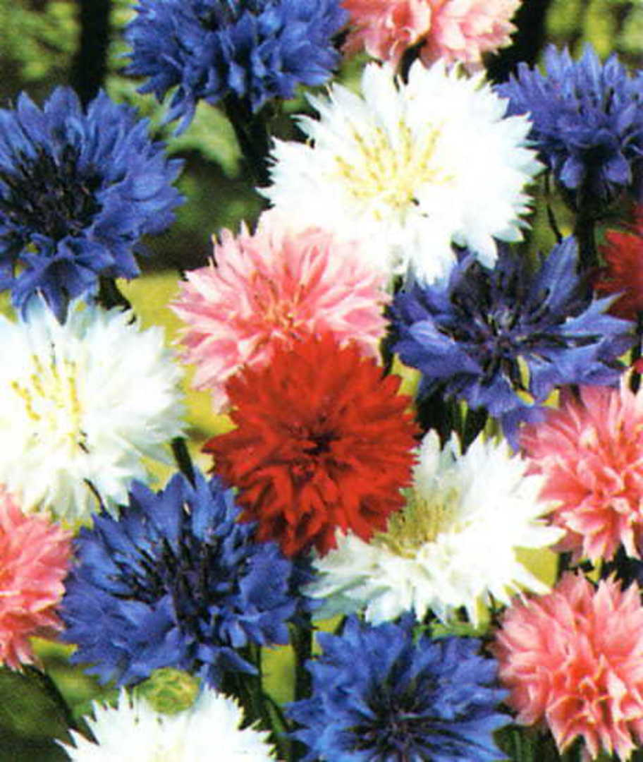 Cornflower Tom Thumb Mixed - Cornflowers coloured Pink, Blue, Red or White