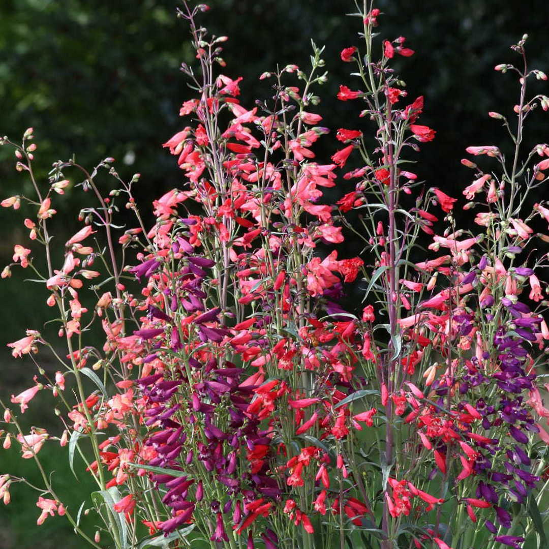 Penstemon Twizzle Mix -  flowers of either Scarlet, Purple or Coral Pink