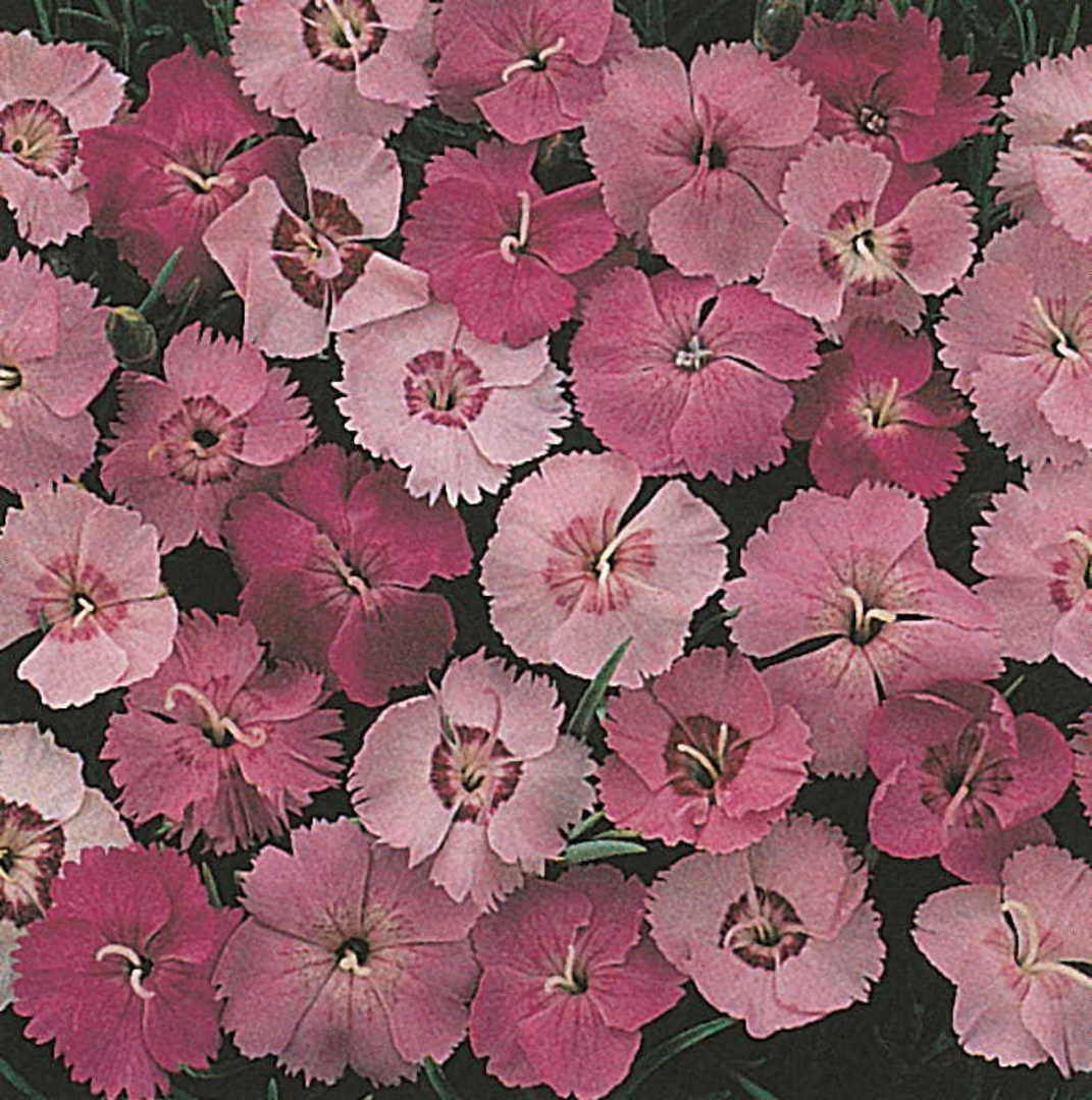 Dianthus Clove Pinks - brilliant mixture of Pink, Red, Scarlet and White