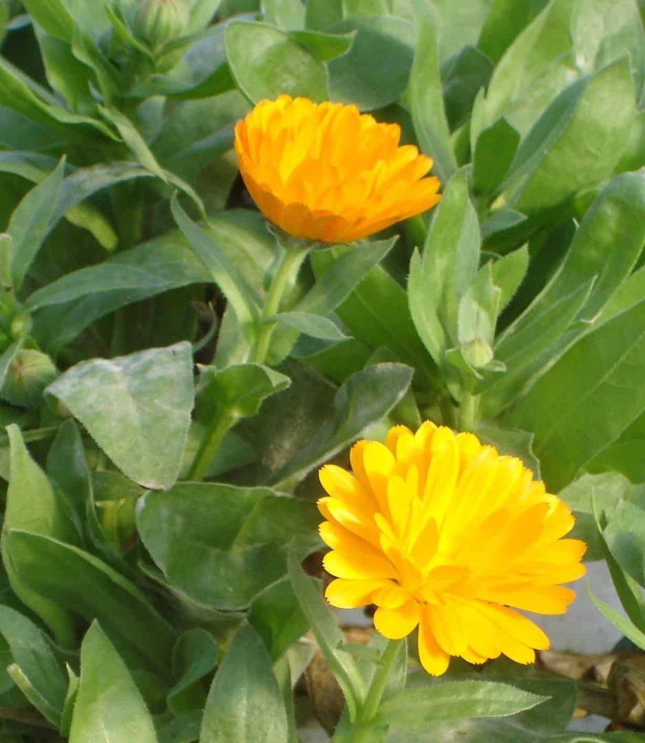 Calendula Nova - Yellow or Orange petals around a brown centre