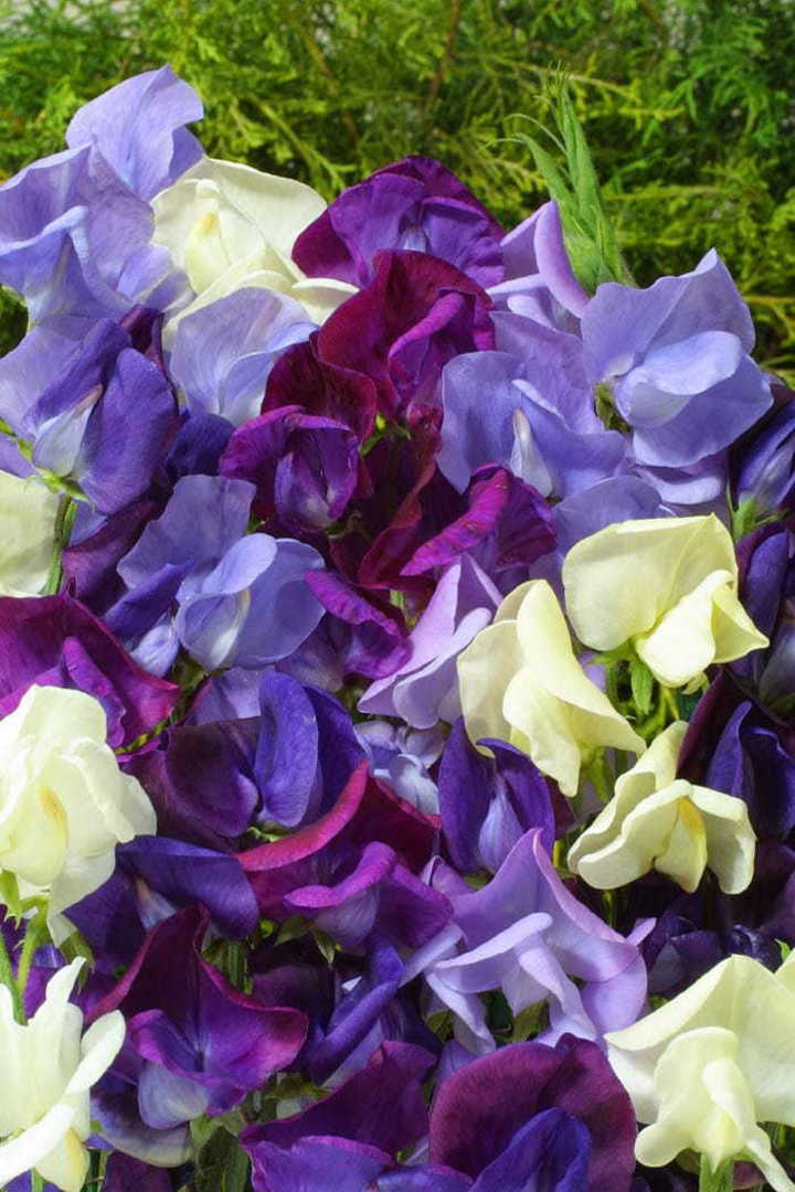 Sweet Pea Shades of Blue -Lilac, Lavender and pale Blue through to Mauve