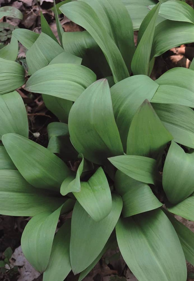Ramps - broad green leaves with creamy white flowers