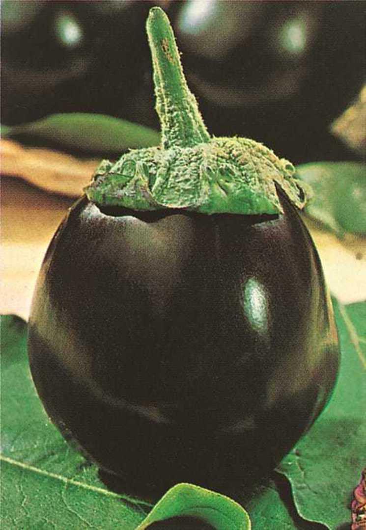 Organic Eggplant Black Beauty - Large teardrop shaped fruit placed on leaf