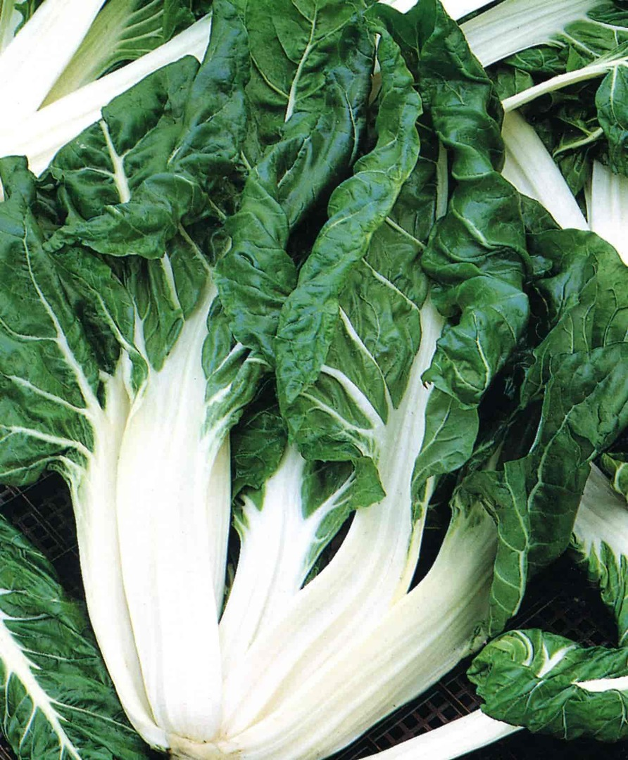 Organic Beet White Ribbed - Broad flattened white stems with dark green leaves